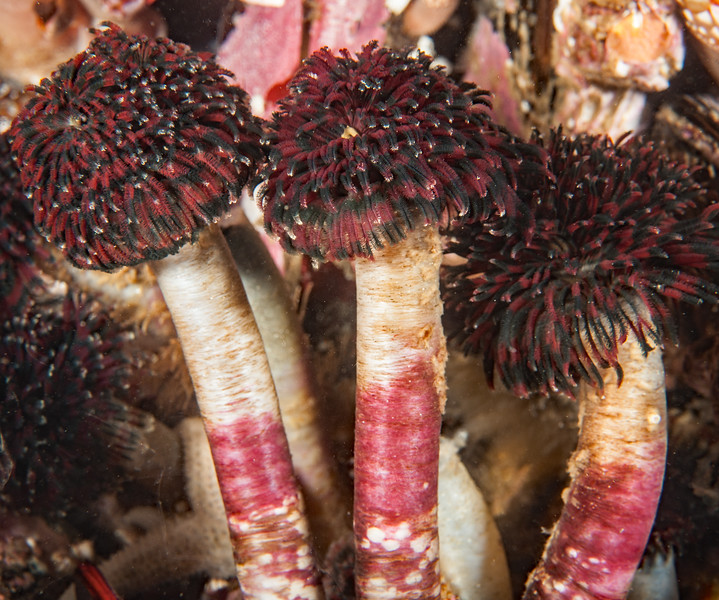 Vancouver Feather Duster Worm<br /> Eudistylia vancouveri<br /> <br /> Nakwakto Rapids, Tremble Island, British Columbia