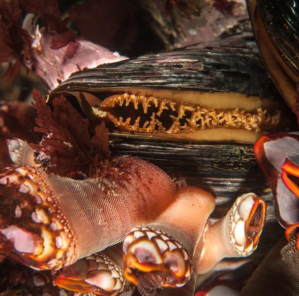 California mussel - Mytilus californianus