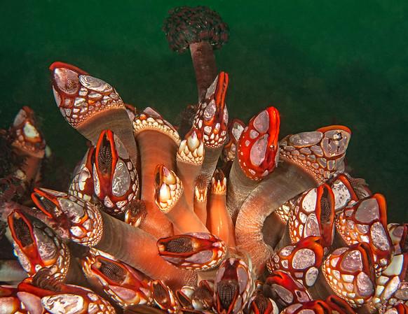 Gooseneck barnacle, Pollicipes polymerus