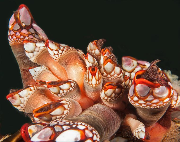 Pacific gooseneck barnacle, Pollicipes polymerus