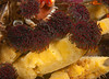 Vancouver feather duster Worm with encrusting yellow sponge<br /> Eudistylia vancouveri<br /> <br /> Nakwakto Rapids, Tremble Island, British Columbia