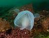 Hooded or lion nudibranch, Melibe leonina<br /> Hoodie Nudi Bay, Nigei Island, British Columbia