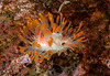Limacia cockerelli<br /> God's Pocket Bay, Hurst Island, British Columbia