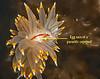 Antiopella fusca with the parasitic copepod, Ismaila belciki<br /> Parasite ID thanks to Greg Jensen<br /> <br /> Hoodie Nudi Bay, Nigei Island, British Columbia<br /> Antiopella fusca, formerly Janolus fuscus