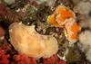 Peltodoris lentiginosa & Tochiuna gigantea