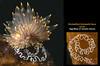 Antiopella fusca with egg mass, formerly Janolus fuscus <br /> God's Pocket Bay, Hurst Island, British Columbia