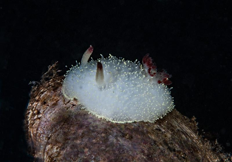Acanthodoris nanaimoensis<br /> God's Pocket Bay, Hurst Island, British Columbia