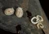 Knoutsodonta jannae & eggs  (formerly Adalaria jannae)<br /> Hoodie Nudi Bay, Nigei Island, British Columbia