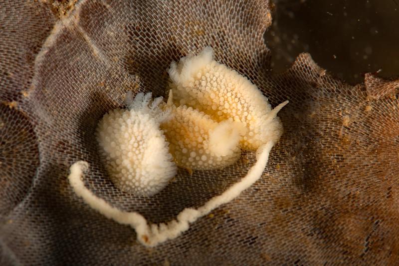 Knoutsodonta jannae <br /> Hoodie Nudi Bay, Nigei Island, British Columbia