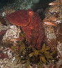 Giant pacific octopus, Enteroctopus dofleini<br /> Dillon Rock, Shushartie Bay, British Columbia