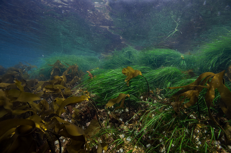Scouler's surf-grass, Phyllospadix scouleri and ? Southern stiff-stiped kelp Laminaria setchellii ?<br /> <br /> There are ~650 species of macro algae in the NW Pacific...I'm on the learning curve.  <br /> Buttertart, Browning Pass, British Columbia