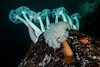 Giant plumose anemone, Metridium farcimen<br /> Toy Boy, east wall, Browning Pass, British Columbia