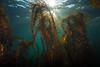Feather boa kelp, Egregia menziesii<br /> Northwest Passage Wall, Browning Pass, British Columbia