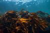 Southern stiff-stiped kelp, Laminaria setchellii <br /> Fantasy Island, Bolivar Passage, between Redfern Island and the Walker Group, British Columbia