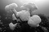 Giant plumose anemone, Metridium farcimen<br /> Hussar Point, Nigei Island, British Columbia