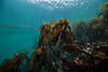 Kelp ID needed <br /> Buttertart, Browning Pass, British Columbia
