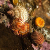 Checkered hairy snail on a serpulid worm next to Calliostoma ligatum far right.