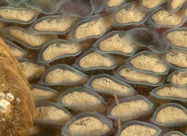 Oregon triton eggs