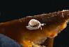 Granulina margaritula <br /> ID thanks to Paul Kanner