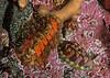 Northern hairy chiton, Mopalia kennerleyi <br /> Lined chiton, Tonicella lineata<br /> <br /> Browning Wall, Browning Pass, British Columbia