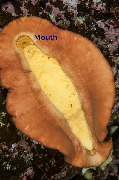 Gumboot chiton ventral view<br /> God's Pocket Bay, Hurst Island, British Columbia