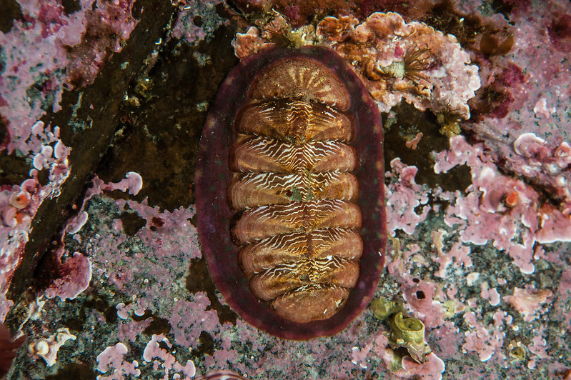 White-line chiton, Tonicella insignis<br /> Lucan's Chute, Browning Pass, British Columbia