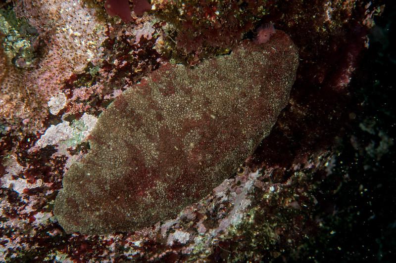 Gumboot chiton, Cryptochiton stelleri<br /> Clam Wall, Browning Pass, British Columbia