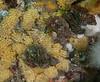 Leafy hornmouth eggs, Ceratostoma foliatum<br /> Northwest Passage Wall, British Columbia