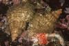 Oregon tritons eating a sea star<br /> Fusitriton oregonensis
