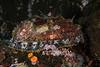 Haliotis sp.<br /> Hoodi Nudi Bay, Nigei Island, B.C.