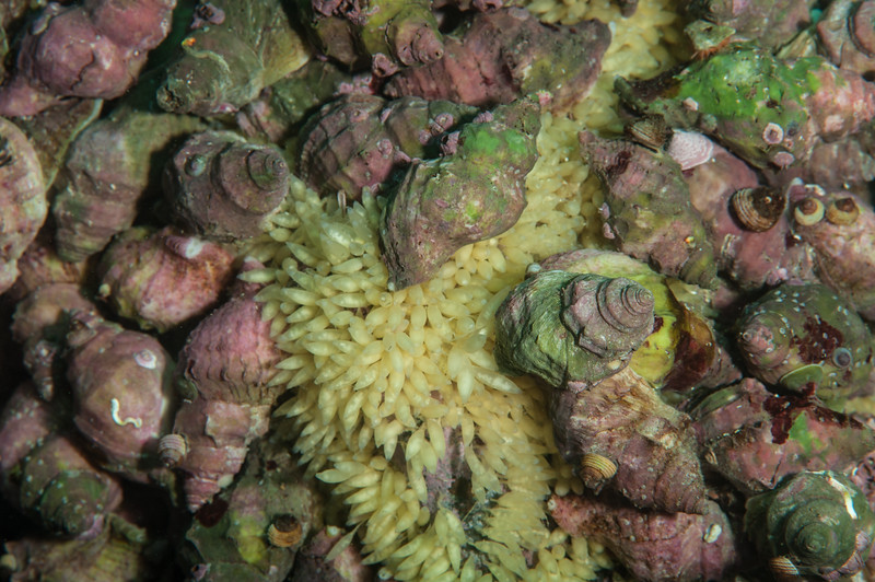 Wrinkled dogwinkles with eggs, Nucella lamellosa<br /> Hussar Point West, Nigei Island, British Columbia