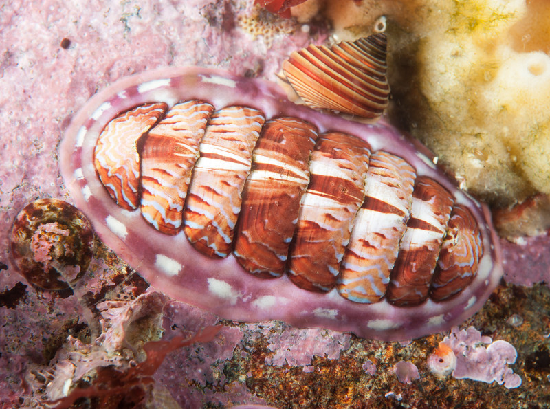 Lined chiton, Tonicella lineata? <br /> Calliostoma ligatum above.<br /> Browning Wall, Browning Pass, British Columbia