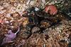 California mussel, Mytilus californianus and ochre stars, Pisaster ochraceus<br /> Aquarium, Browning Pass, British Columbia