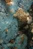 Oregon triton eggs, Fusitriton oregonensis<br /> Hussar Point, Nigei Island, British Columbia
