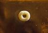 Lacuna vincta snail eggs