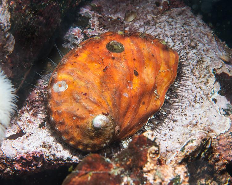 Northern (or Pinto) abalone, Haliotis kamtschatkana<br /> Snowfall, Browning Pass, British Columbia