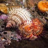 Checkered hairy snail on serpulid worm