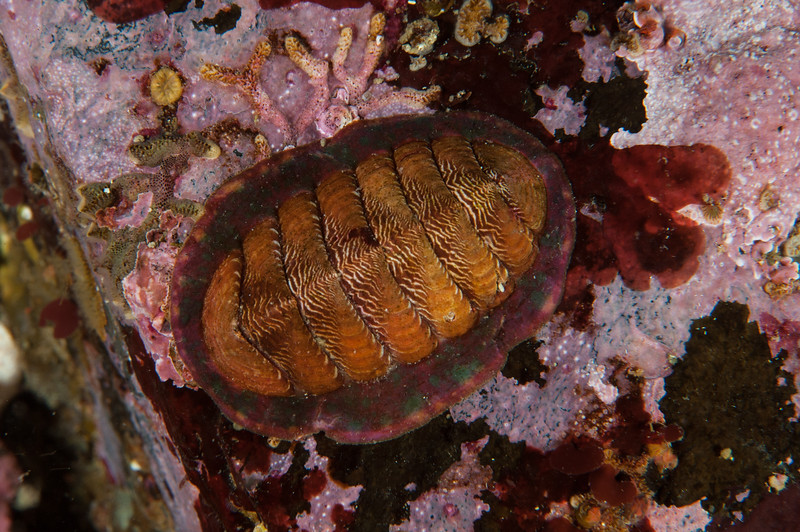 White-line chiton, Tonicella insignis<br /> Clam Wall, Browning Pass, British Columbia
