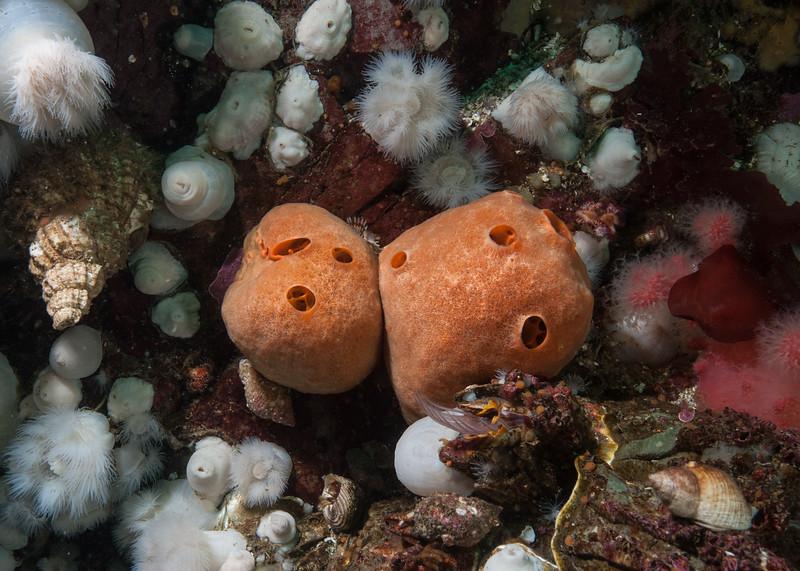 Peachball sponge, Suberites montiniger<br /> Ruth's Rocks, Browning Pass, British Columbia