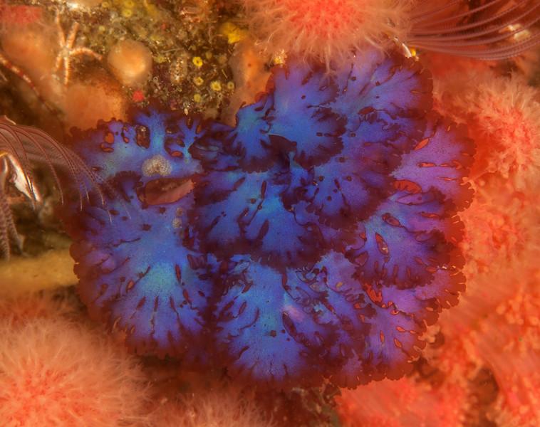 Blue branching algae, Fauchea laciniata<br /> Butter Tart Reef, Browning Pass, British Columbia<br /> <br /> ID thanks to Phil Garner
