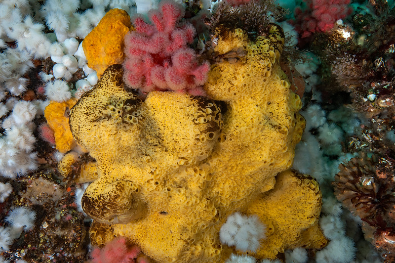 Bread crumb sponge, Halichondria panicea, with sulfur sponge behind.<br /> Buttertart, , Browning Pass, British Columbia