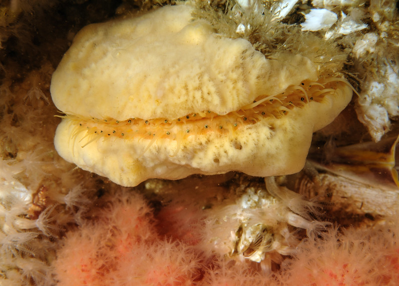 Yellow Sponge on Scallop
