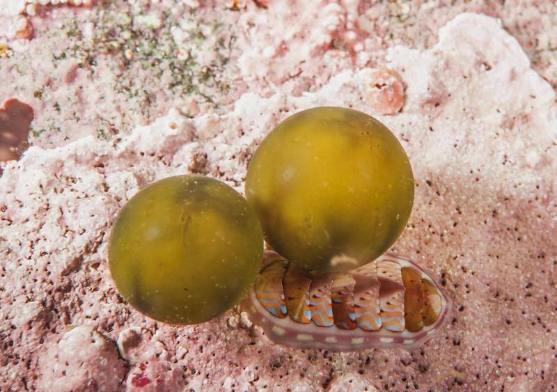 Sea grapes - Derbesia marina<br /> Browning Wall, Browning Pass, British Columbia