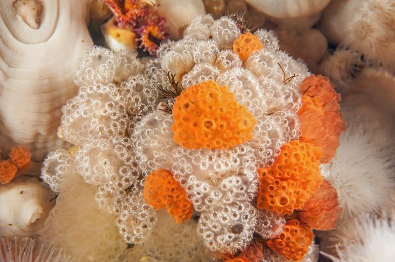 Mushroom Compound Tunicate - Distaplia occidentalis