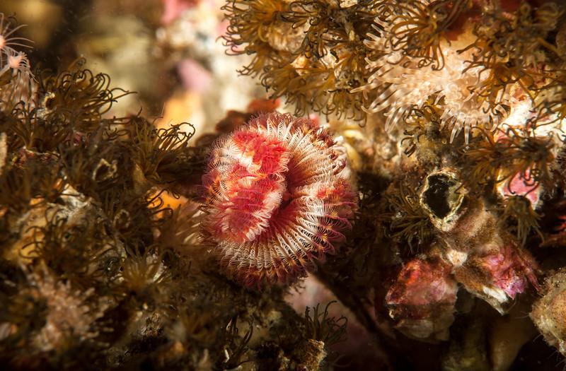 Serpula columbiana.<br /> Coralline Fringed Tube Worms - Dodecaceria fewkesi<br /> Browning Wall, Browning Pass, British Columbia