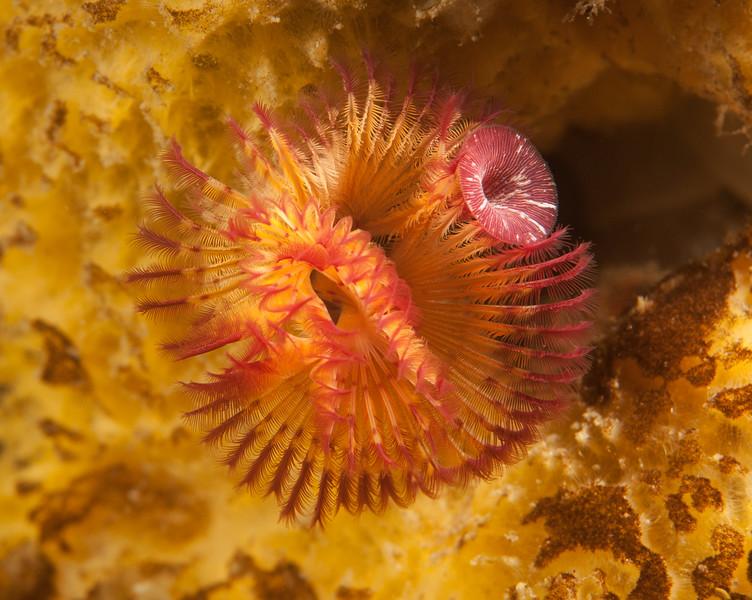 Polychaete worm, Serpula columbiana<br /> Snowfall, Browning Pass, British Columbia