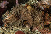 Parasol feather duster worms, Parasabella media<br /> Clam Wall, Browning Pass, British Columbia