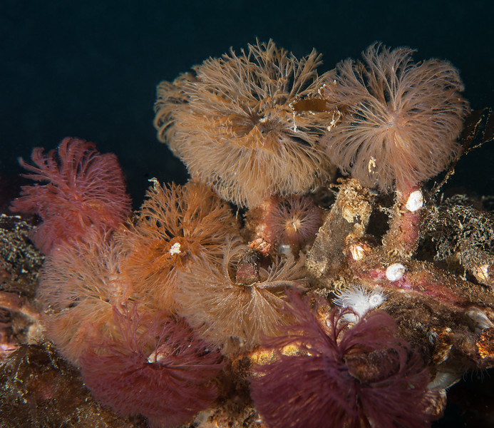 Split-branch feather duster worm, Schizobranchia insignis<br /> God's Pocket Bay, Hurst Island, British Columbia