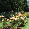 Hybrid Tea Roses at the Rose Garden