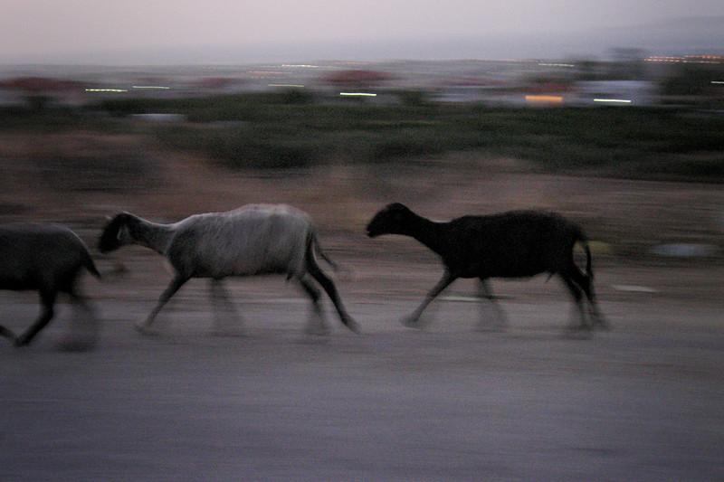 Sheep in Corinth
